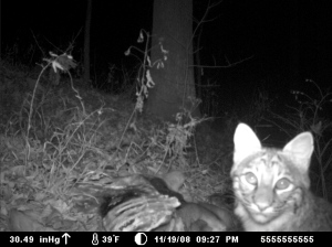 Bobcat figured out exactly where the infrared trail cam was. Clever girl.